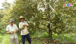Sầu riêng rụng trái non do cây chưa hoàn toàn hồi phục sau hạn mặn