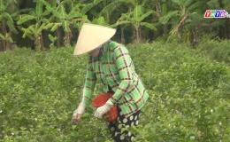 Chuyên đề 27.7 – Trồng cây lài lấy hoa tăng thu nhập