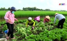 Chuyên đề 16.7: Gò Công Đông thu hoạch rau hỗ trợ người dân TP Hồ Chí Minh