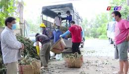Tân Phước: Người dân vẫn thu hoạch và mua bán khóm bình thường
