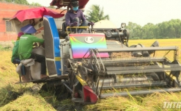 Giá lúa Hè Thu ở Tiền Giang giảm do dịch bệnh Covid-19