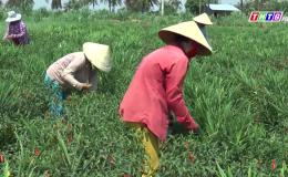 Chuyên đề 26.8 – Huyện Tân Phú Đông duy trì sản xuất nông nghiệp trong thời gian giản cách xã hội