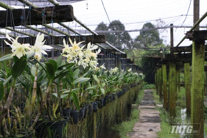 hoa lan dendro  trang
