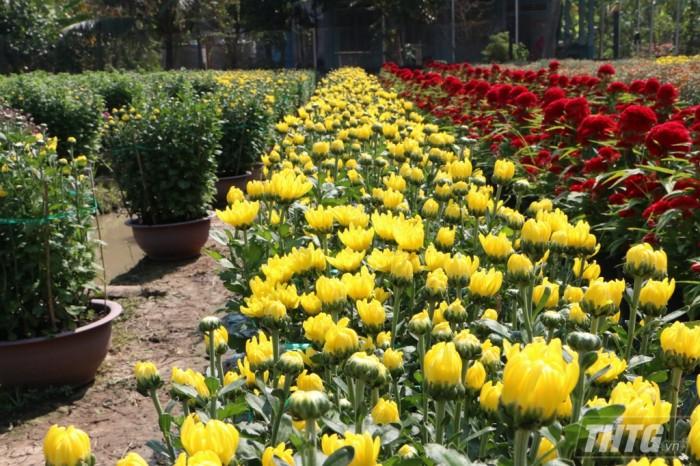 Đa số các ruộng hoa tại Làng hoa Mỹ Phong đã sẵn sàng cho mùa Tết 2019