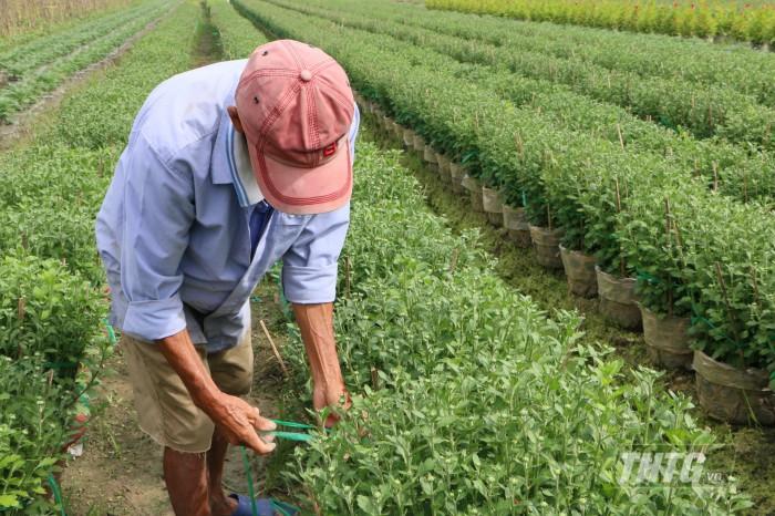 Nông dân chăm sóc hoa  cúc ở làng hoa Mỹ Phong
