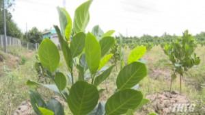 Nông dân Cái Bè đổ xô trồng mít Thái