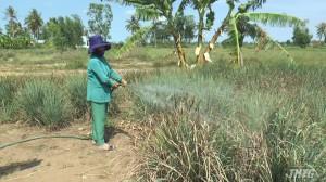 Nắng nóng đe dọa hơn 1.800 hecta sả của huyện Tân Phú Đông