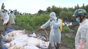 Gò Công Đông tiêu hủy 28 con heo dương tính với dịch tả heo Châu Phi