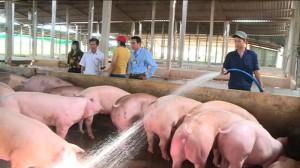 Giá heo hơi tại Tiền Giang vẫn đang tăng cao theo từng ngày