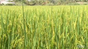 Khoảng 7.000 hecta lúa các huyện phía Đông gieo sạ trễ so với lịch thời vụ
