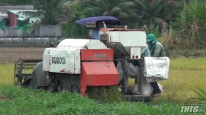 Nông dân Gò Công Tây thu hoạch lúa Thu Đông