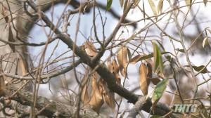 Cai Lậy có hơn 680 hecta sầu riêng bị thiệt hại do xâm nhập mặn