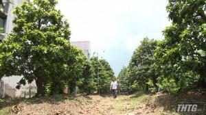 Vườn mai vàng ở Cái Bè được công nhận Nhà vườn sinh vật cảnh tiêu biểu