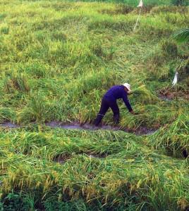 Mưa dầm gây thiệt hại cho nông dân trồng lúa