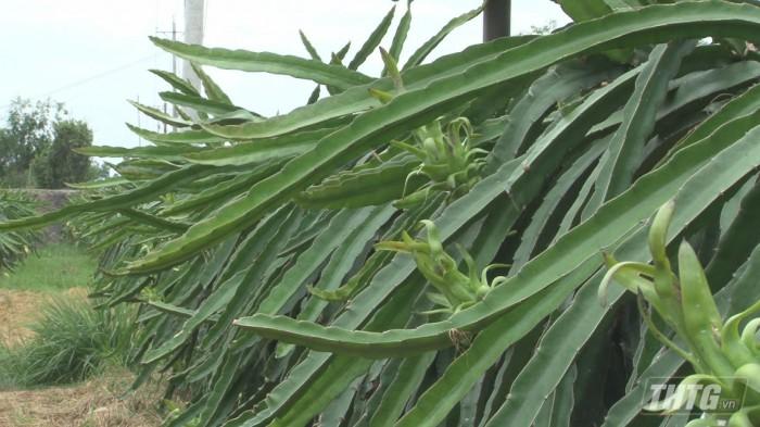 thanh long Tan Phuoc