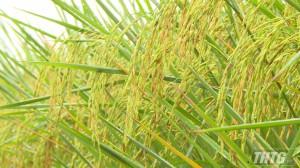 Mô hình sản xuất lúa ứng dụng công nghệ cao đem lại lợi nhuận tốt cho nông dân