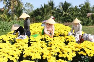 Thu hoạch hoa tại làng hoa Mỹ Phong những ngày cận Tết.