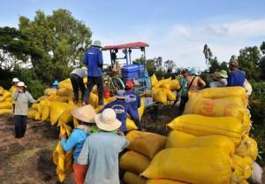 Nông dân sản xuất lúa đông xuân ở ĐBSCL được mùa, được giá