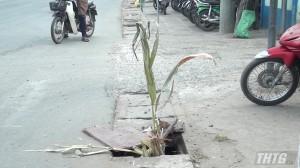 Bẫy cống thoát nước trên Quốc lộ 1A, đoạn qua Thị trấn Tân Hiệp, huyện Châu Thành