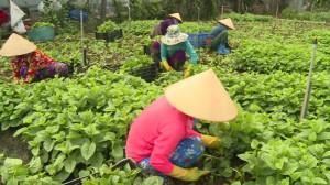 Chuyển đổi từ trồng lúa sang rau màu, lợi nhuận tăng hơn 9 lần