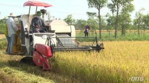 Tiền Giang khôi phục thành công giống lúa VD 20