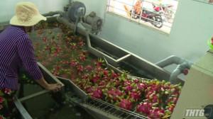 HTX Mỹ Tịnh An duy trì và mở rộng xuất khẩu trái thanh long