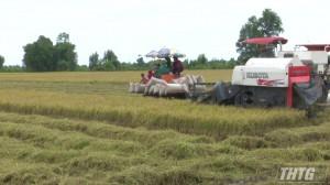 Tân Phước thu hoạch lúa hè thu sớm 2021, giá giảm nhẹ