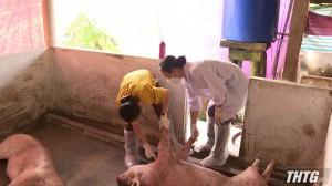 Tiền Giang ghi nhận trường hợp bệnh dịch tả heo Châu Phi tại huyện Cai Lậy